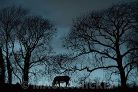 A Bullock grazes as night draws closer in Ballinacarrig, Brittas Bay, Co. Wicklow.