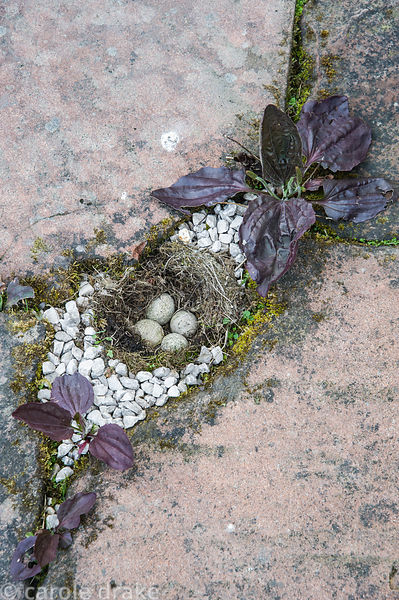 Fake bird's nest complete with eggs inserted between paving on the terrace behind the house framed by red leaved plantain, Pl...