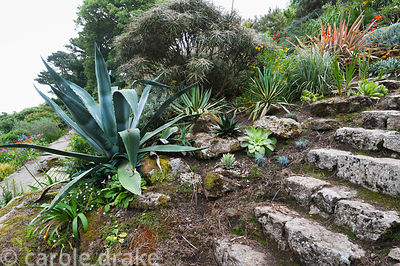 Spikey succulents including Agave americana, aeonium and aloes beside stone steps leading down the steeply sloping garden