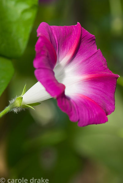 Ipomoea 'Scarlet O'Hara'. Kingston Maurward Gardens, Dorchester. Dorset, UK