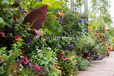 Pots of tender perennials and annuals lined along at wall at Bourton House, Moreton-in-Marsh in August including Canna 'Durba...
