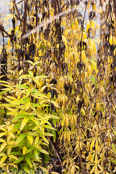 Autumn foliage of Veronicastrum virginicum 'Album'