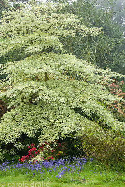 Graceful tiered form of Cornus controversa 'Variegata' in the higher garden. Trewidden, Buryas Bridge, Penzance, Cornwall, UK
