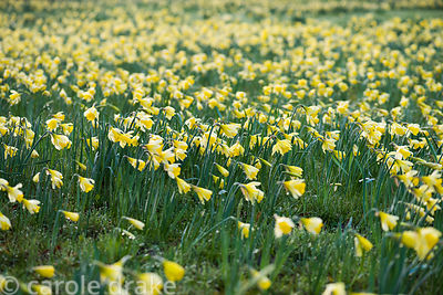 Naturalised daffodils at Doddington Hall, Lincolnshire in March