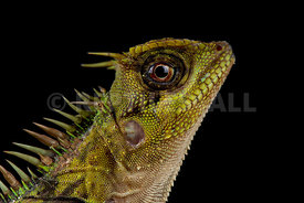 Indo-Chinese spiny lizard (Acanthosaura capra)