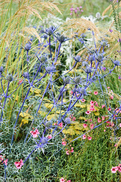 Diascia 'Peter' with Eryngium bourgatii 'Picos Blue' and Stipa calamagrostis at Dove Cottage Nursery & Garden, Halifax, West ...