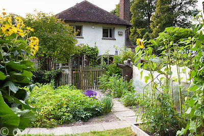 Vegetable patch with sunflowers, inula, potatoes and chives at Five Oaks Cottage in July
