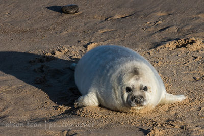 Grey seal pup (baby)
