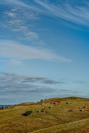Mors landscape with cows, Denmark