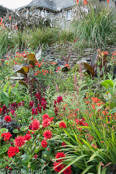 Hot border below the house bursting with colour, includes crocosmias, dahlias, Canna indica, Lobelia tupa,  antirrhinums, dar...