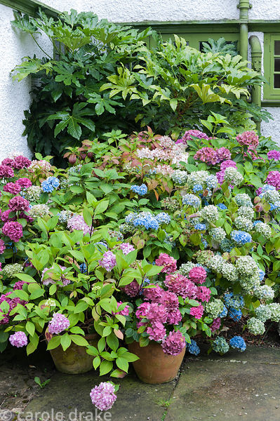 Hydrangeas with Fatsia japonica in a shadey corner of the house. Perrycroft, Upper Colwall, Herefordshire, UK
