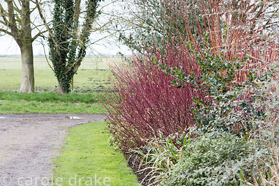 Winter border with red stems of Cornus alba 'Sibirica'  and evergreens including sarcococca and holly at Ellicar Gardens, Notts