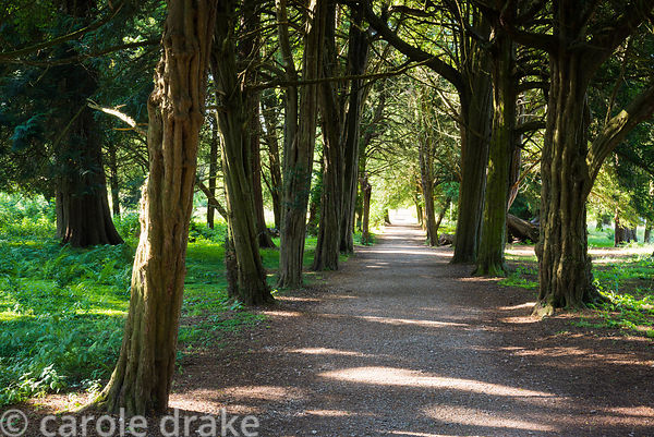 Yew avenue at Lowther Castle, Penrith, Cumbria in July