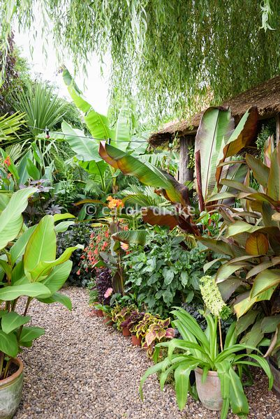 Pots of eucomis and solenostemon at the feet of Ensete ventricosum 'Maurelii' and cannas at Oak Barn, Newark, Notts in September