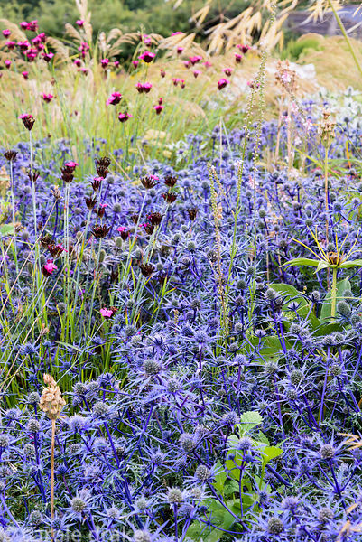 Eryngium bourgatii 'Picos Blue' with deep pink Dianthus carthusianorum at Dove Cottage Nursery & Garden, Halifax, West Yorkshire