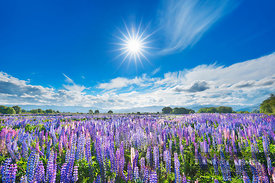 Lupine meadow at Ahuriri River - Oceania, New Zealand, South Island, Otago, Waitaki, Ahuriri River, Omarama (Polynesia) - dig...
