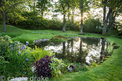 Dawn sun breaking through tall sycamores reflecting in the pond with planting at its end including ferns, irises, Persicaria ...