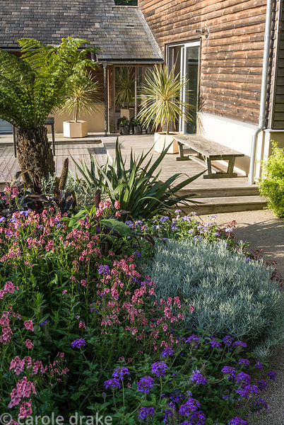 Minimalist Japanese style courtyard by the house is framed by exuberant planting including tree fern, dark purple Pennisetum ...