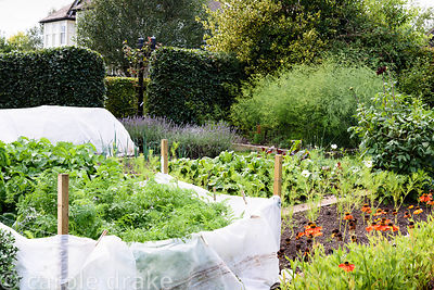 Kitchen garden with carrots protected from carrot root fly with a fleece barrier,  cosmos, heleniums, lavender and asparagus ...