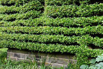 Pyracantha trained as a perfectly clipped espalier on the side of the house at York Gate Garden, Adel in July