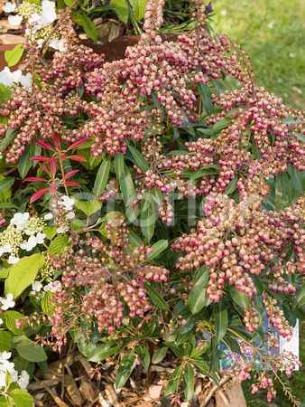 Pieris japonica 'Passion', andromède du Japon