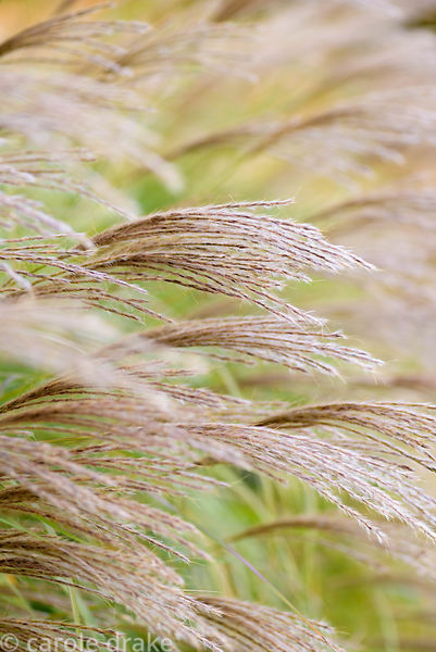 Miscanthus 'Starlight' in October