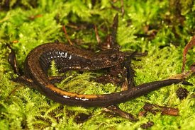 Closeup of a Dunn's salamander ,  Plethodon dunni on green moss in Oregon