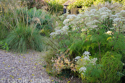 Gravel garden along one side of the drive features Selinum wallichianum and Stipa gigantea