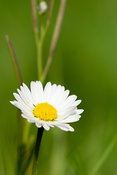 Single daisy  - vertical framing