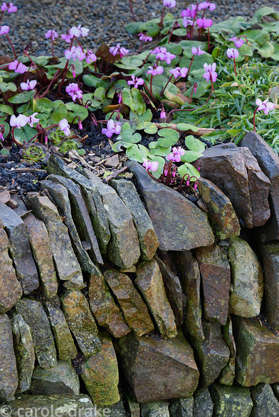 Stone built retaining wall with self seeded Cyclamen coum at Higher Cherubeer, Devon