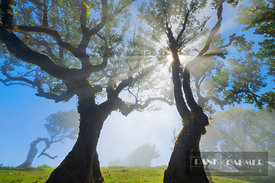 Laurel forest Laurisilva in fog - Europe, Portugal, Madeira, Porto Moniz, Fanal (Laurisilva) - digital
