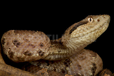Central American jumping pitviper (Atropoides mexicanus)