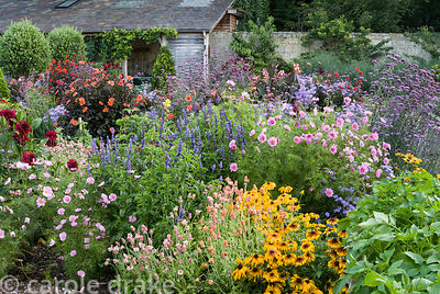 Exuberant planting in the walled garden includes annuals such as Cosmos 'Double Rose Bon Bon', salvias and rudbeckias with pe...