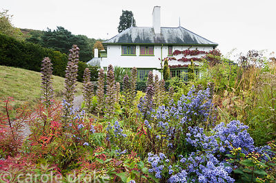 Colourful autumn border with euphorbia, acanthus, asters and hypericum with Vitis cognetiae trained on the house beyond. Perr...