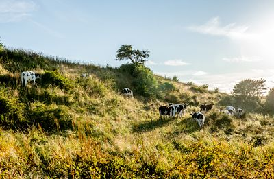 Cows on Mors, Denmark