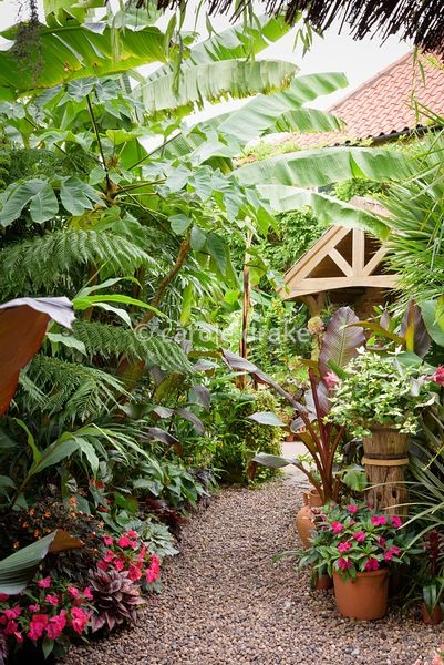 A gravel path framed by plants including impatiens, begonias, Tradescantia 'Blushing Bride', Musa basjoo, Tetrapanax papyrife...
