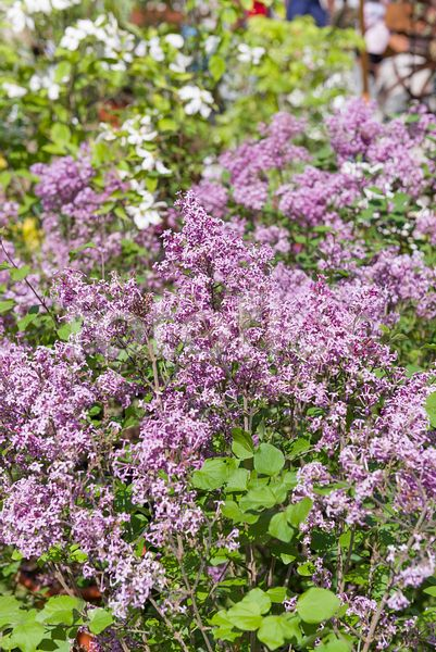 Syringa BLOOMERANG® Dark Purple, lilas