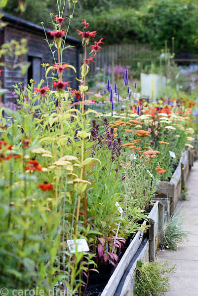 Sales benches full of glorious herbaceous perennials including achilleas, monardas and lobelias at Dove Cottage Nursery & Gar...