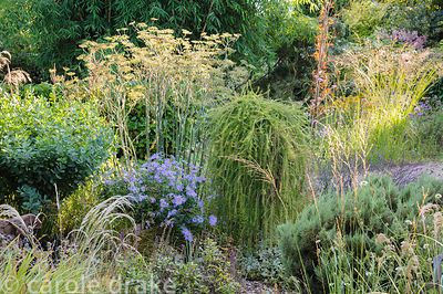 Larix decidua 'Puli' in the gravel garden surrounded by grasses, bronze fennel and Aster x frikartii 'Monch'.