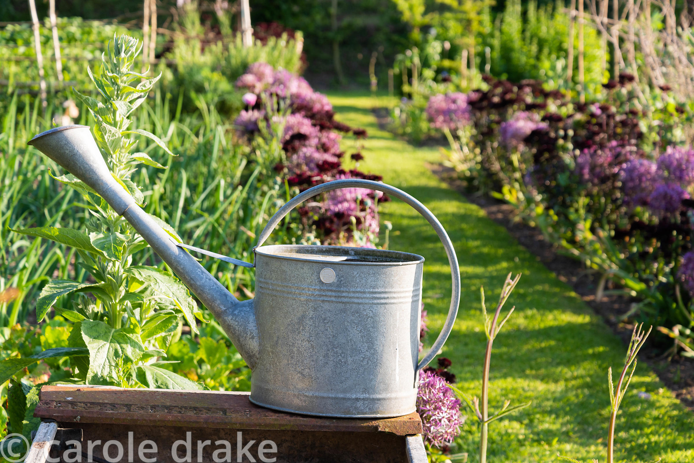 Galvanised watering can in the kitchen garden with border beyond of Allium cristophii and Dianthus barbatus (Nigrescens Group...