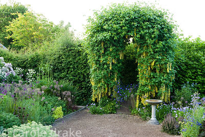 Arch trained with Laburnum waterei 'Vossii' in the front garden surrounded by Viola cornuta, alliums, Achillea nobilis subsp....