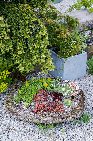 A shallow stone plate of alpines including sempervivums and dianthus.