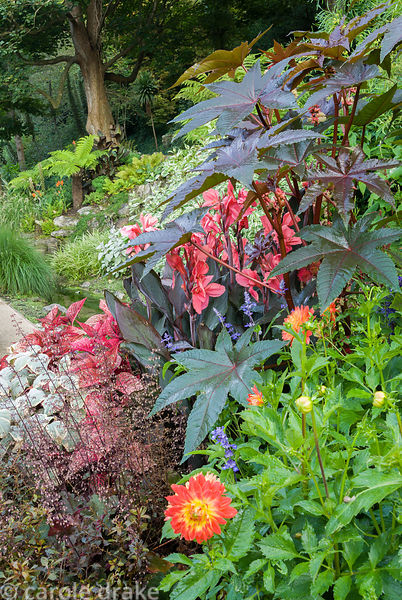 Path framed with exuberant planting including ricinus, silvery plectranthus, heuchera, dahlias and red leaved solenostemon. H...