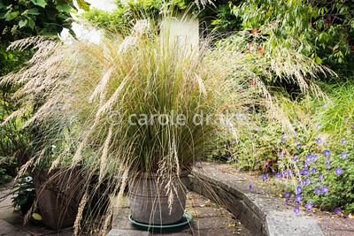 Pot of Chionochloa conspicua at Barn House, Gloucestershire in September