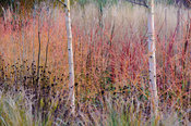 Betula utilis var. jacquemontii 'Jermyns' amongst colourful stems of Cornus alba 'Westonbirt' and C. sanguinea 'Midwinter Fir...