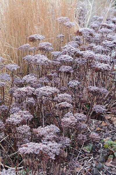 Frosted heads of Sedum spectablie with bleached grasses. Barn House, Brockweir Common, Glos, UK