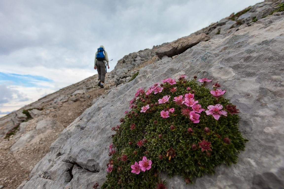 Triglav rose (potentilla nitida) in the way to the summit of Mala Mojstrovka