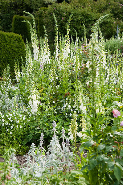 A mass of self seeded white foxgloves in the rose garden mingling with Viola cornuta Alba Group and silvery stachys. Mindrum,...