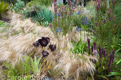 Stipa tenuissima washes in and out of planting on a sunny bank including Leucadendron 'Safari Sunset', eucomis, Agapanthus in...