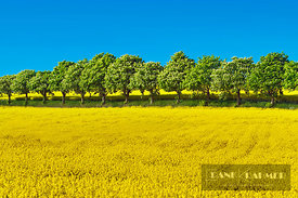 Horse chestnut alley and rape field (lat. aesculus hippocastanum) - Europe, Germany, Mecklenburg-Vorpommern, Rostock, Kavelst...